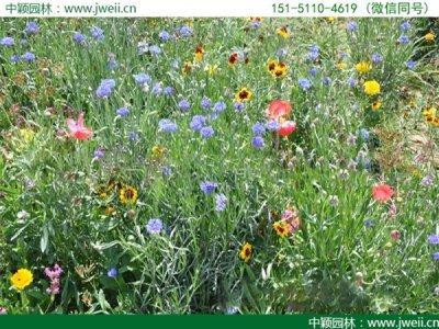 野花组合能够在冬天播种吗?