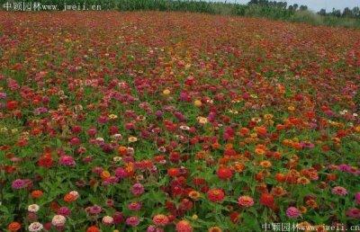八月适合种植野花组合吗?