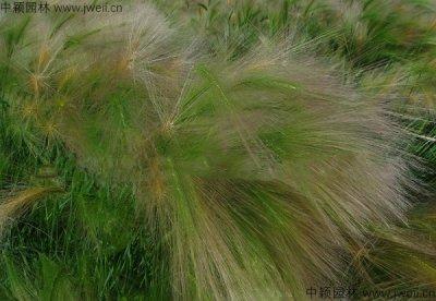 狗尾草播种到出芽需要几天?