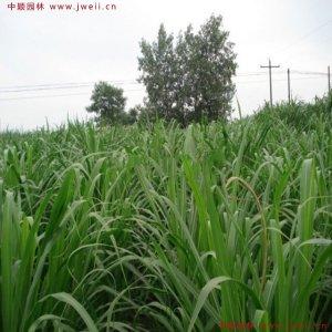 牧草都有哪些品种?