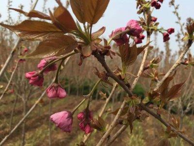 哪里樱花最便宜,多少钱一棵?