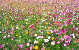 野花组合如何进行种植:和普通的种植方法差不多