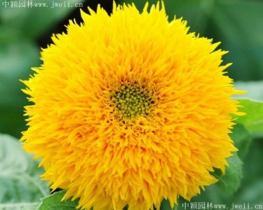太阳花种子