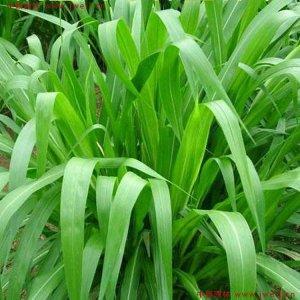 皇竹草什么时候种?