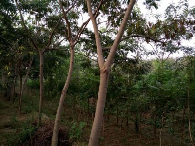 对于选择种植合欢树的土壤要了解的这三点