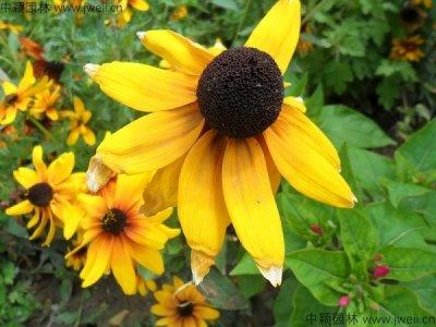 关于黑心菊的花语你知道吗?