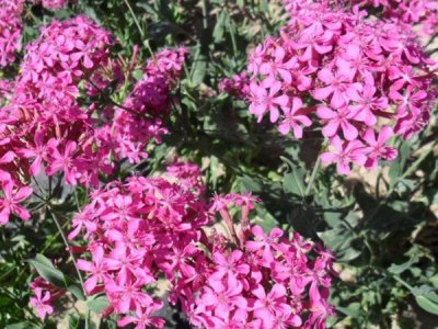 对于花卉高雪轮这种植物你了解多少?