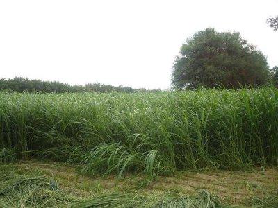 芨芨草的亩产量是多少?