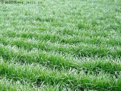 进口一年生黑麦草种子种植技巧