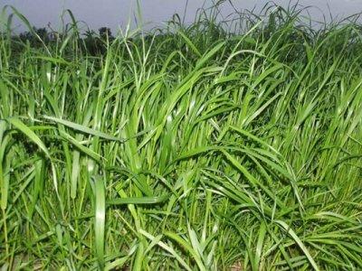 一年生黑麦草种子多少钱一斤?