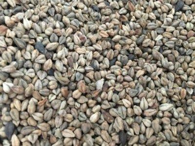 种植一亩地苦荞麦需要多少斤种子?