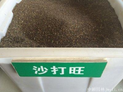 沙打旺种子