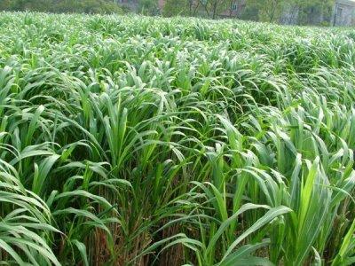 种植牧草专家来推荐主要饲养家禽牧草品种