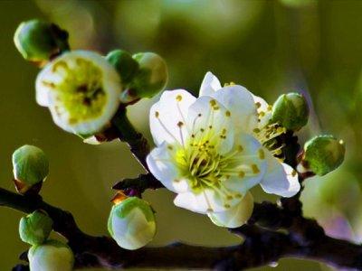 红绿梅的产地_价格_规格_图片_中颖园林