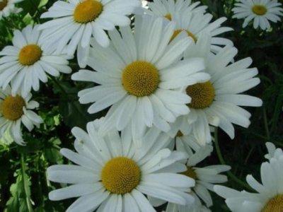 白晶菊花期有多久?