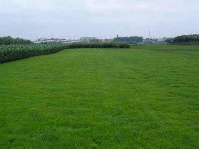 草地早熟禾是一年生植物