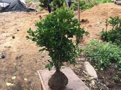 瓜子黄杨的养殖方法和注意事项