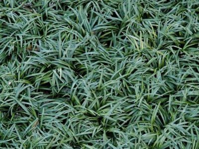 矮麦冬能生长多少年?